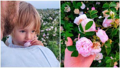 Photo of Vă place dulceața de trandafiri? Puteți culege petale FĂRĂ PLATĂ în lanul aflat la 30 km de Chișinău